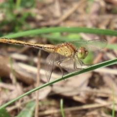 Diplacodes bipunctata (Wandering Percher) at Callum Brae - 6 Apr 2021 by RodDeb