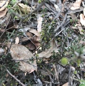 Acacia gunnii at Black Mountain - 6 Apr 2021