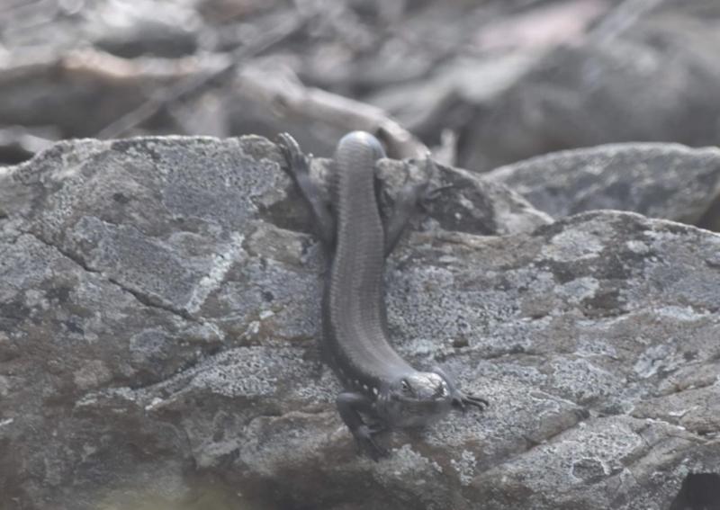 Liopholis montana at Namadgi National Park - 6 Apr 2021