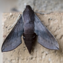 Hippotion scrofa (Coprosma Hawk Moth) at Higgins, ACT - 29 Mar 2021 by AlisonMilton