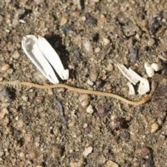 Geophilomorpha sp. (order) (Earth or soil centipede) at Higgins, ACT - 4 Apr 2021 by AlisonMilton