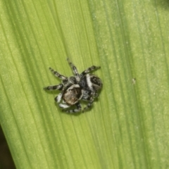 Hypoblemum griseum (A jumping spider) at Higgins, ACT - 4 Apr 2021 by AlisonMilton