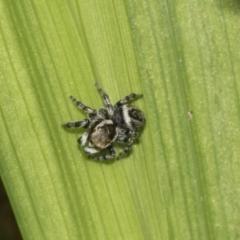 Hypoblemum griseum (Jumping spider) at Higgins, ACT - 4 Apr 2021 by AlisonMilton