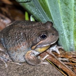 Limnodynastes dumerilii (Eastern Banjo Frog) at Penrose by Aussiegall