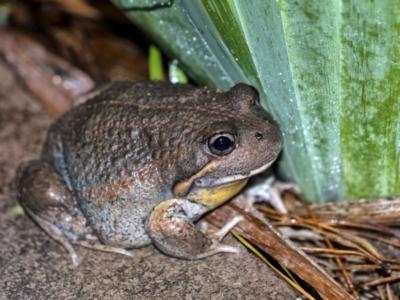 Limnodynastes dumerilii (Eastern Banjo Frog) at Penrose - 5 Apr 2021 by Aussiegall