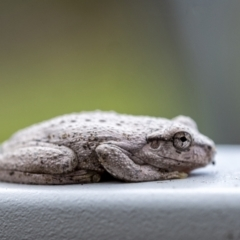 Litoria peronii (Peron's Tree-frog) at Penrose - 5 Apr 2021 by Aussiegall