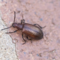 Lagriini sp. (tribe) (Unidentified lagriine darkling beetle) at ANBG - 26 Mar 2021 by AlisonMilton