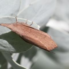 Pararguda nasuta (Wattle Snout Moth) at Higgins, ACT - 27 Mar 2021 by AlisonMilton
