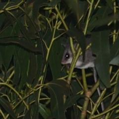 Cercartetus nanus (Eastern Pygmy Possum) at Lower Cotter Catchment - 5 Apr 2021 by TimotheeBonnet