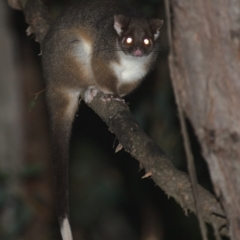 Pseudocheirus peregrinus (Common Ringtail Possum) at Lower Cotter Catchment - 5 Apr 2021 by TimotheeBonnet
