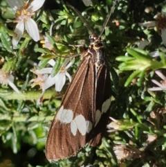 Nyctemera amicus (Senecio or Magpie moth) at Lyons, ACT - 5 Apr 2021 by drakes