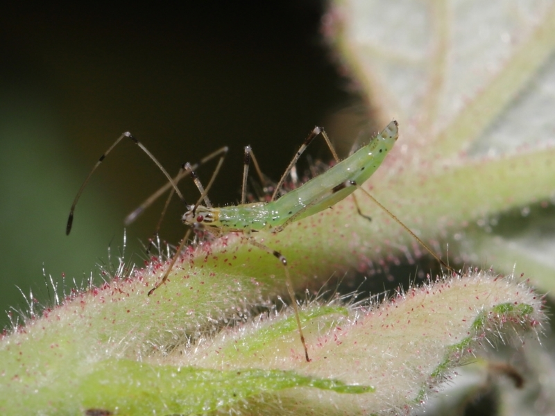 Rayieria sp. (genus) at ANBG - 6 Apr 2021