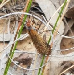 Chorista australis (Autumn scorpion fly) at Bruce, ACT - 7 Apr 2021 by tpreston