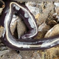Caenoplana coerulea at Bruce, ACT - 7 Apr 2021