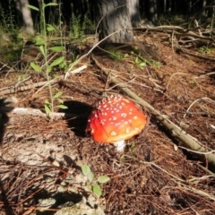 Amanita muscaria (Fly agaric) at Lower Cotter Catchment - 5 Apr 2021 by dwise