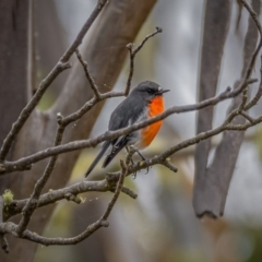 Petroica phoenicea (Flame Robin) at Namadgi National Park - 5 Apr 2021 by trevsci