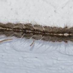 Porela sp. (genus) (A porela moth) at Googong, NSW - 7 Apr 2021 by WHall