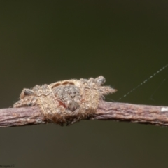 Dolophones sp. (genus) (Wrap-around spider) at Mulligans Flat - 7 Apr 2021 by Roger
