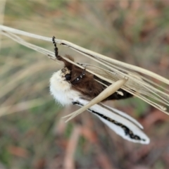 Oenosandra boisduvalii at Aranda Bushland - 24 Mar 2021