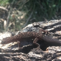Christinus marmoratus (Southern Marbled Gecko) at Mount Ainslie - 7 Apr 2021 by Ned_Johnston