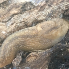 Ambigolimax nyctelia (Striped Field Slug) at Mount Ainslie - 7 Apr 2021 by Ned_Johnston