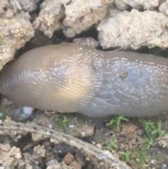 Deroceras laeve (Marsh Slug) at Mount Ainslie - 7 Apr 2021 by Ned_Johnston