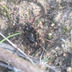 Habronestes sp. (genus) (TBC) at Mount Ainslie - 7 Apr 2021 by Ned_Johnston
