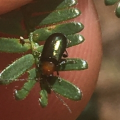 Adoxia benallae (Leaf beetle) at Mount Ainslie - 7 Apr 2021 by Ned_Johnston