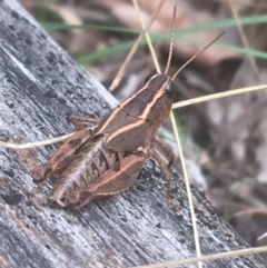 Unidentified Grasshopper (several families) (TBC) at Mount Ainslie - 7 Apr 2021 by Ned_Johnston