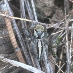 Jotus sp. (genus) (Unidentified Jotus Jumping Spider) at Campbell, ACT - 7 Apr 2021 by Ned_Johnston