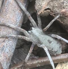 Argoctenus sp. (genus) (Wandering ghost spider) at Mount Ainslie - 7 Apr 2021 by Ned_Johnston
