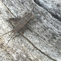 Eurepa marginipennis (TBC) at Mount Ainslie - 6 Apr 2021 by Ned_Johnston