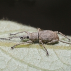 Merimnetes oblongus (Radiata pine shoot weevil) at ANBG - 6 Apr 2021 by TimL