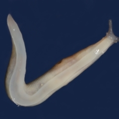 Riccardoella oudemansi (White Slug Mite) at Evatt, ACT - 6 Apr 2021 by TimL