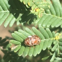 Unidentified Leaf beetle (Chrysomelidae) (TBC) at Dryandra St Woodland - 8 Apr 2021 by Ned_Johnston