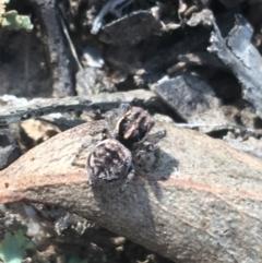 Maratus calcitrans (Kicking peacock spider) at Acton, ACT - 8 Apr 2021 by Ned_Johnston