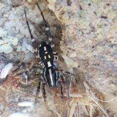 Nyssus albopunctatus (White-spotted swift spider) at Dunlop Grasslands - 8 Apr 2021 by tpreston