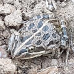 Limnodynastes tasmaniensis (Spotted Grass Frog) at Dunlop Grasslands - 8 Apr 2021 by tpreston