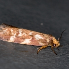 Palimmeces habrophanes (A Concealer moth) at Melba, ACT - 28 Feb 2021 by Bron