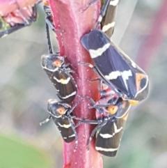 Eurymeloides pulchra (Gumtree hopper) at Dunlop Grasslands - 8 Apr 2021 by tpreston