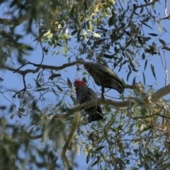 Callocephalon fimbriatum (Gang-Gang Cockatoo) at Ward Morrison Park - 4 Apr 2021 by DMeco