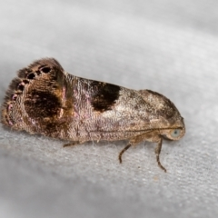 Eupselia beatella (A Twig moth.) at Melba, ACT - 28 Feb 2021 by Bron