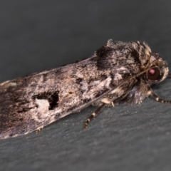 Thoracolopha verecunda (A Noctuid moth (group)) at Melba, ACT - 1 Mar 2021 by Bron