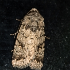 Proteuxoa capularis (Half-moon Noctuid) at Melba, ACT - 1 Mar 2021 by Bron