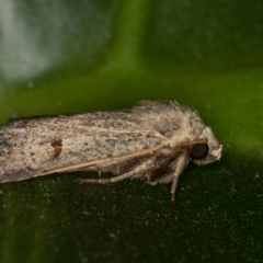 Proteuxoa (genus) (A Noctuid Moth) at Melba, ACT - 1 Mar 2021 by Bron