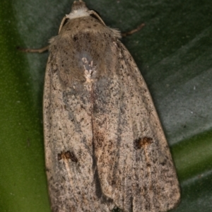 Proteuxoa (genus) at Melba, ACT - 1 Mar 2021