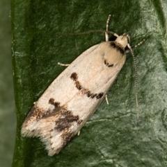 Compsotropha strophiella (A Concealer moth) at Melba, ACT - 1 Mar 2021 by Bron