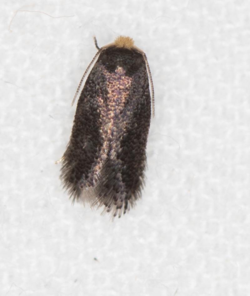 Nepticulidae (family) at Melba, ACT - 1 Mar 2021