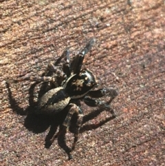Jotus auripes (Jumping spider) at Acton, ACT - 7 Apr 2021 by Ned_Johnston