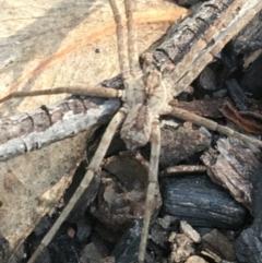 Argoctenus sp. (genus) (TBC) at Black Mountain - 7 Apr 2021 by Ned_Johnston
